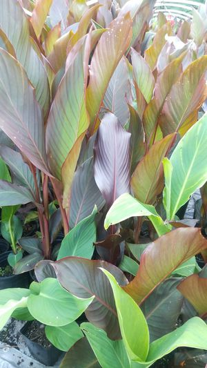 canna lilies big beautiful banana cannas. perennisl for Sale in Kirkland, WA