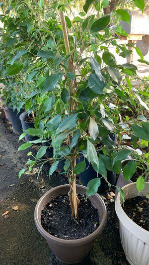 Ficus braid plant in 12 in pot type 1 for Sale in Modesto, CA