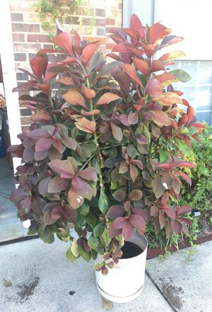 Big plant 5ft with pot well kept for Sale in Woodbridge, VA
