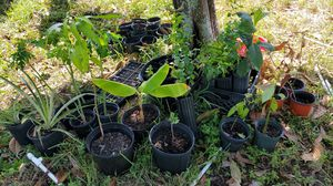 Fruit producing trees for Sale in NW PRT RCHY, FL