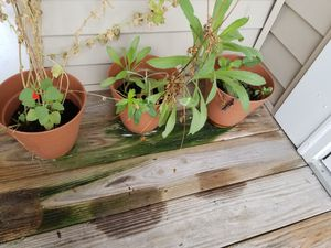 3 pots with flowering plants for Sale in O'Fallon, MO