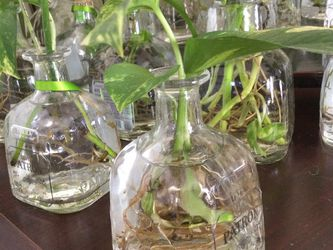 Pothos Cuttings Rooted In Repurposed Liquor Bottle for Sale in Cleveland,  OH