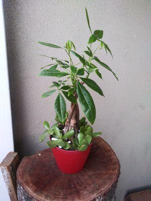 Money tree con plantas de jade mide 17 inches for Sale in Cudahy, CA