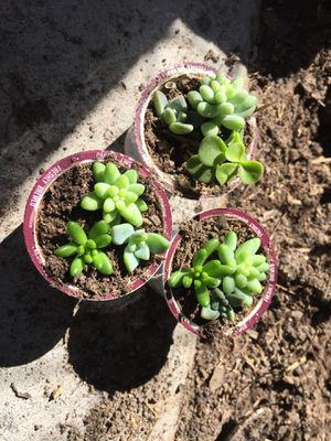 3 pot of little succulent plants for Sale in San Diego, CA