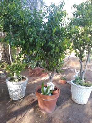 Ficus Benjemini 10 ft tall planted in decorative cement pots for Sale in Perris, CA