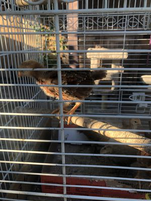 Month old chicks for Sale in Phoenix, AZ