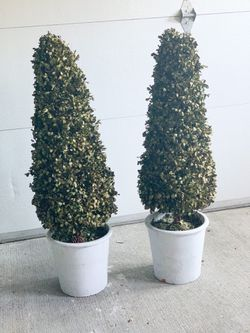 Preserved Boxwood Topiaries for Sale in Seattle,  WA