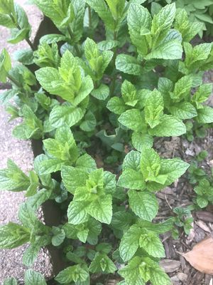 Plant/ herbs for Sale in Dearborn Heights, MI