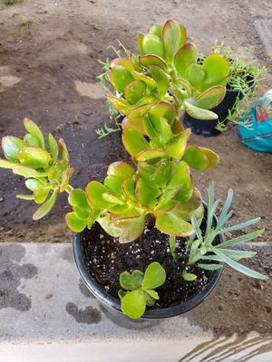 Jade and succulents for Sale in Hayward, CA
