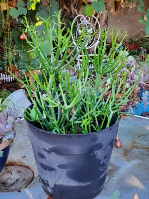 "11"" pot with pencil stick Succulents for Sale in Gardena, CA"