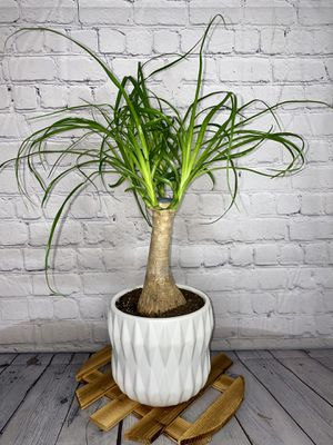 """12"""" Tall Ponytail Palm Tree in Textured White Ceramic Pot (Pet Friendly) for Sale in Los Angeles, CA"""