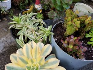 SUCCULENT PLANT SALE THIS SUNDAY IN SAN LORENZO SKYLINE SUCCULENTS THIS SUNDAY for Sale in San Lorenzo, CA