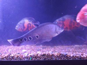 A Big acuario 125 gallons especial today for Sale in San Diego, CA