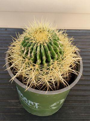 Beautiful Healthy Cactus for Sale in Phoenix, AZ
