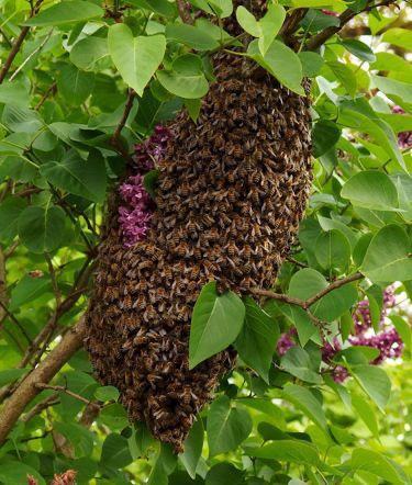 Free bee swarm removal 40 reward