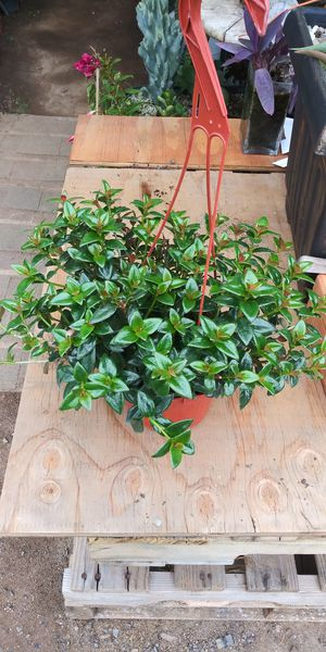 Gold fish plant indoor for Sale in San Marcos, CA