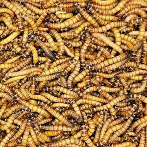 LIVE Superworms You Chose 50 to 5,000+10%Overfill Guaranteed Super Fast Shipping Guaranteed LIVE Delivery 100% Certified Organic Pet Grade for Sale in Port St. Lucie, FL