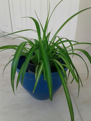 Healthy Spider Plant (10+ inch diameter plant) for Sale in Orange, CA