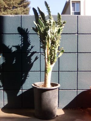 Cactus Plant with Soil and Pot for Sale for Sale in San Jose, CA