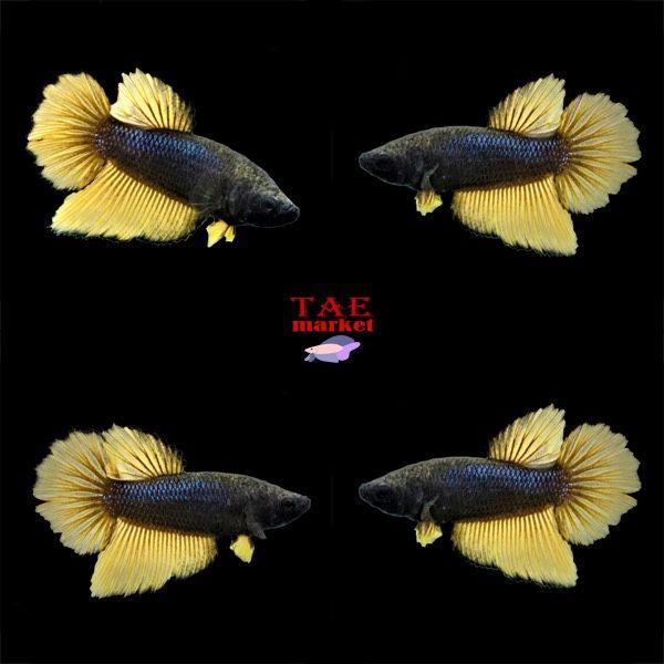 Fish Tank Bettas Free