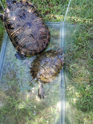 2 sea turtles for Sale in Pomona, CA