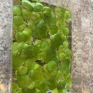 Frogbit: Indoor for Sale in West Covina, CA