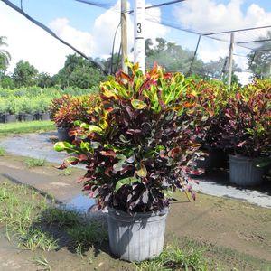 Croton mamey mammy hedge 7 gallons mamey plants for sale plantas de cerca for Sale in Miami, FL