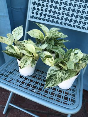 Marble Queen Pothos for Sale in Covina, CA