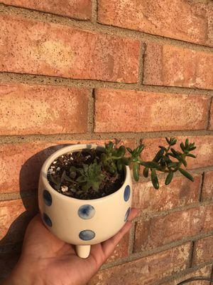 jellybean succulent plant for Sale in Grand Prairie, TX