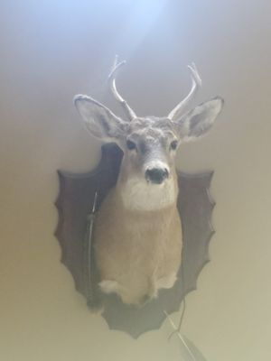 Mounted deer head for Sale in Indianapolis, IN