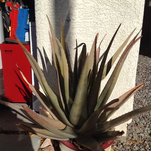 "31"" Big Aloe Vera Plant for Sale in North Las Vegas, NV"