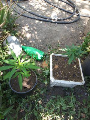 Cannabis plants for Sale in Baldwin Park, CA