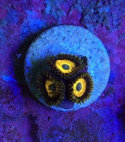 Scrambled Egg Zoas, Zoanthids, Coral for Sale in Gardena,  CA