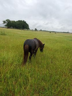 Black mini mare, in her teens is blind in one eye asking $200 for Sale in Whitney,  TX