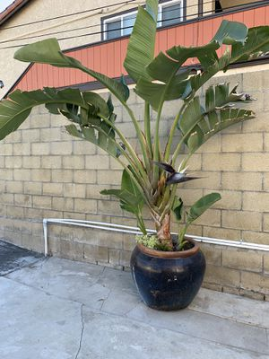 Bird of paradise plant for Sale in Buena Park, CA