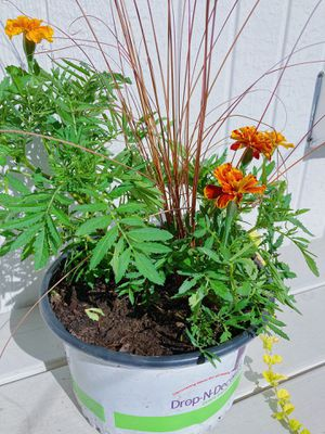 Marigold Flower Pot for Sale in Vancouver, WA