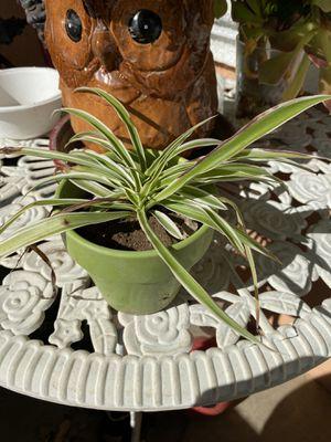 Small spider plant and small ceramic pot. for Sale in Sacramento, CA