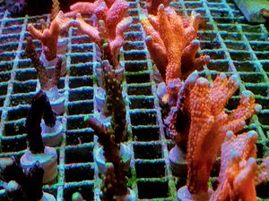Bubble Gum Digitata Coral Frags for Sale in Medley, FL