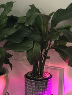 Peace Lily for Sale in Bothell,  WA