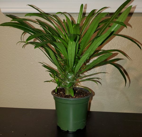Pachypodium plant 🌱