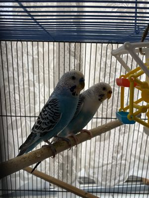 Parakeets Male& Female With Cage for Sale in Hilliard, OH