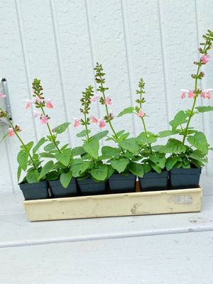 Rare Pink Salvia 'Dancing Dolls' Flowers for Sale in Vancouver, WA