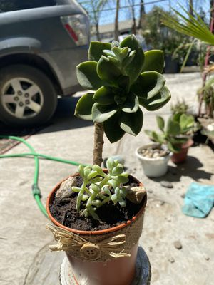 Succulents for sale! for Sale in Tulare, CA
