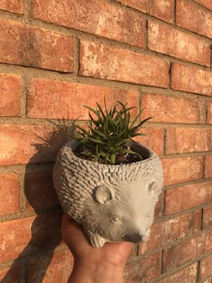pincushion peperomia plant in heavy hedgehog planter pot for Sale in Grand Prairie, TX