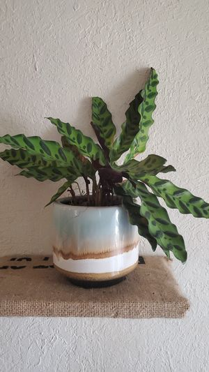 Plant. Tropical. Will give care instructions. Had it for a few months, and am moving out of state. for Sale in Denver, CO