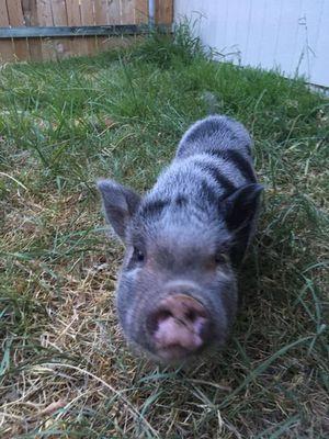 Juliana Pig for Sale in Waxahachie, TX