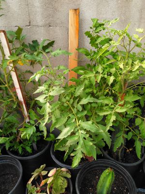 Tomatoes plants for Sale in Los Angeles, CA