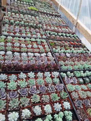"""2"""" pots with succulent plants $1 each and $55 for tray of 64 plants for Sale in Whittier, CA"""