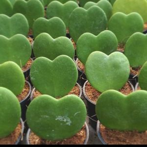 Heart Plant for Sale in Riverside, CA