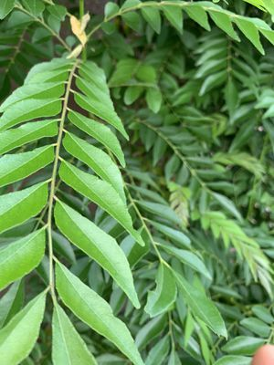 Curry leaves for Sale in Seffner, FL